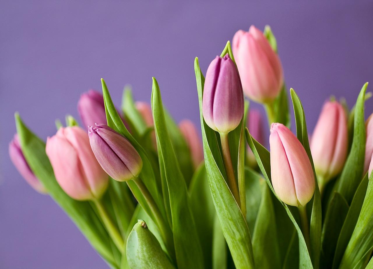 tulips-320151_1280